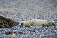 New born baby seal (Thomas Frejek) Tags: winter baby deutschland jahreszeiten schleswigholstein halichoerusgrypus greyseal helgoland 2015 kegelrobbe