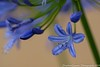 Blue Agapanthus (stephenquattro) Tags: flowers plants macro 100mm 5d markiii wonderworld excellentsflowers mimamorflowers flowerarebeautiful thebestofmimamorsgroups faunayfloradelmundo contactaward1 stephenquattro southafrica2014