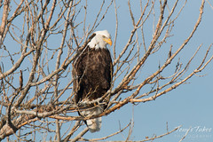 A lone Bald Eagle keeps watch