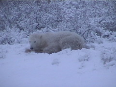 Polar Bear in the Snow 3