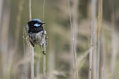 Superb Fairywren 2015-02-01 (_MG_1056) (ajhaysom) Tags: australia melbourne australianbirds greenvale superbfairywren maluruscyaneus canoneos60d sigma120400 woodlandshistoricpark