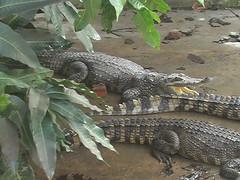 Crocodiles in Mekong Delta