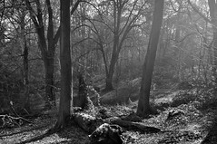 (CLBuggins Photography) Tags: park trees light blackandwhite sun sunlight nature monochrome forest woodland dark nationalpark woods nikon shadows logs highlights fallen fallentree lickeyhills nikond5000