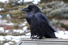 Do you have any fries? (moore.sterling) Tags: raven yellowstonewildlife westyellowstonemt sterlingmoore