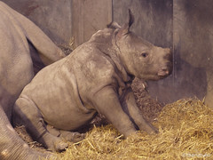Rhino baby 5 weeks (through glass), 2 (Finn Frode (DK)) Tags: baby copenhagen zoo calf rhinoceros kbenhavn dicerosbicornis nsehorn