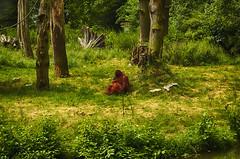 Orang Utan im Zoo Dortmund (fredy_egdorf) Tags: germany tiere natur orangutan nrw dortmund hdr tonemapping menschenaffen nikon1855mm zoodortmund hdrefexpro2 nikond5100 pse11