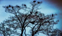 A crow tree (MarkDonovanVancouver) Tags: vancouver nikon bc britishcolumbia yvr d800 markdonovan d5photocom d5photo