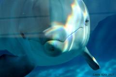 '' You're so beautiful '' (Laura Keto) Tags: animal animals marine dolphin dolphins animales delfin marino delfines marinemammals cetaceans bottlenosedolphin cetaceos delfinmular mamiferosmarinos