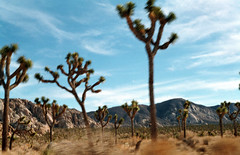 Loop drive through Joshua Tree National Park (EllenJo) Tags: 35mm nationalpark nikon desert joshuatree nikonfm10 joshuatreenationalpark ellenjo ellenjoroberts californiaonfilm december2014 wintercampingatjoshuatree developedbybluemooncamera