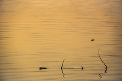 Untitled (royudoys) Tags: sunset water canon river eos dragonfly wildlife teesta 18135mm 60d