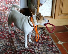 Now that's just plain greedy (Squatbetty) Tags: jrt holly jackrussell daft greedy jackrussellterrier thebee hollyberry hollybee pullytoy