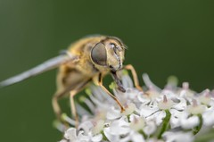 Female hoverfly (stephensmith54831) Tags: macro fly hoverfly syrphidae diptera sbr200 tokina100mm d7000