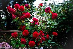 Rosier rouge... (Crilion43) Tags: rose france vreaux paysage jardin centre canon arbres divers fleurs cher blanche brouillard ciel herbe jaune nature nuages rouge rflex sapin saumon thuya