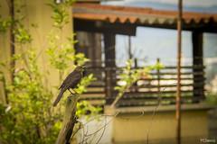Aves (sierramarcos14695) Tags: guatemala quetzaltenango aves bir bird pajaro poste profundidad de campo nature naturaleza explorando ciudad vida belleza