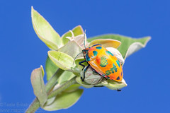 Hibiscus Harlequin Bug (Teale Britstra) Tags: policecreek gladstone centralqueensland australia australian native nature wildlife outdoors canon 600dcanon600d t3i 55250mm kitlens macrokosm macrokosmcom macro extensiontubes macrophotography hibiscus harlequin bug hibiscusharlequinbug harlequinbug cottonharlequinbug tectocoris diophthalmus tectocorisdiophthalmus