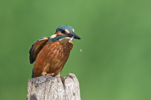 Kingfisher - juvenile