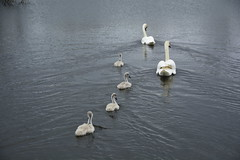 Rabbit Ings (243) (rs1979) Tags: rabbitings royston barnsley southyorkshire yorkshire pond muteswan muteswans swan swans cygnet cygnets