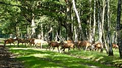 Harde, Cerfs Elaphes (Raymonde Contensous) Tags: espacerambouillet cerfs harde cervidés bois forêt cerfsélaphes