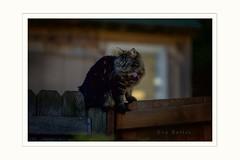 Hunter (Krasne oci) Tags: nightphotography cat fence lights feline hunting photoart artphotography evabartos