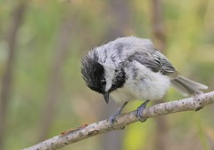 Sweet young one (Jeannine St. Amour) Tags: baby bird nature wildlife chickadee