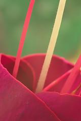 Rosia (bidueiro) Tags: naturaleza flower macro macrofotografa industar50