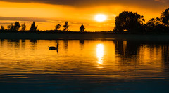 Golden (dangerousdavecarper) Tags: sun canada reflection water clouds goose