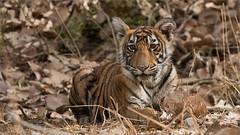 Tiger Cub (Raymond J Barlow) Tags: tiger nature wildlife phototours photography india travel adventure raymondbarlow outdoor wildcat bigcat wild