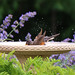 "Robin in Birdbath • <a style=""font-size:0.8em;"" href=""http://www.flickr.com/photos/124671209@N02/28164535332/"" target=""_blank"">View on Flickr</a>"