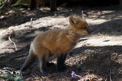 Aventurier (Bloui) Tags: animal mammal cub spring montral young qubec fox april botanicalgarden jardinbotanique redfox vulpesvulpes renard 2016 renardroux eos7d