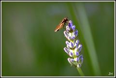 Lavande (1) (au35) Tags: flower macro fleur nikon vert lavande abeille insecte macrophotographie d5000