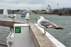 Ferrying seagulls (janniswiese) Tags: helsinki finland suomi sea seagull birds animals wildlife color nikon d7200 nikond7200
