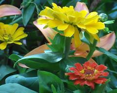 gniazdowo zinnias (kexi) Tags: yellow red green flowers zinnias macro petals garden gniazdowo poland polska samsung wb690 july 2015 instantfave