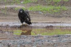 Now What Do I Do? (20160717-143308-PJG) (DrgnMastr) Tags: fb cropped eagles baldeagles eaglets avianexcellence sacrednature damniwishidtakenthat naturescarousel dmslair ia26 grouptags allrightsreserveddrgnmastrpjg pjgergelyallrightsreserved