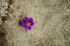 Simply Beauty (Arun Ramanan) Tags: flower rock photography design pattern purple madras simple chennai cpw harringtonroad simplybeauty thechennaiphotowalk arunramanansphotography