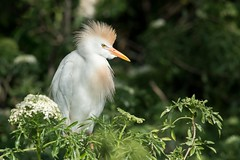 Cattle Egret (Melis J) Tags: bird orlando unitedstates florida egrets cattleegret bubulcusibis