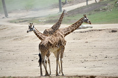 Three headed Giraffe at the San Diego Safari Park (GMLSKIS) Tags: sandiego safaripark giraffe california nikond750