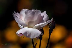 Rose douceur (caffin.jacques3) Tags: fleur bokeh extrieur rose outside pink flower douceur softness