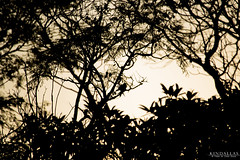 Natural window (Kindallas) Tags: tree bird shadow sky afternoon silhouette sun outdoor 250mm canon t5 counterlight leaf leaves