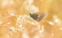 Small Heath (Coenonympha pamphilus) (markhortonphotography) Tags: macro grass butterfly insect surrey heath scrub swt heathland surreyheath lepidoptery coenonymphapamphilus smallheath surreywildlifetrust brentmoorheath markhortonphotography thatmacroguy