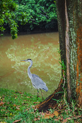 Grey Heron (elenaleong) Tags: naturepark heron bird pond chinesegarden singapore wildlife greyheron