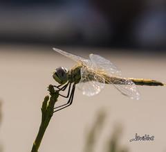 Dragon Fly (javiblue25) Tags: insectos naturaleza macro macrofotogfia liblula dragonfly