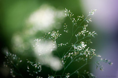 I just want to think about it (OR_U) Tags: 2016 oru uk langleywoodnationalnaturere langleywood hamptworth nature zen meditation green flower grass bloom white bokeh art sliderssunday hss langleywoodnationalnaturereserve
