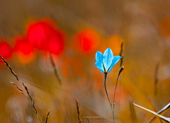 play with colors (Ramin Soufimehr) Tags: flowers flower nature macro colors filckr iranphotography iran azarbayjan spring canon