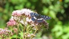 Limenitis reducta  (Le sylvain azur) (bernard.bonifassi) Tags: bb088 06 alpesmaritimes 2016 thiery papillon insecte counteadenissa
