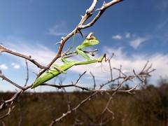 The elf's lunch (andraszambo) Tags: mantis religiosa praying pi elf nature macro insect lunch eat summer meadow mantidae imádkozó sáska locust fogólábúak mantodea action attraction leg bush