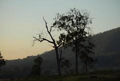 more suffering trees (dustaway) Tags: myrtaceae eucalyptus gumtree trees australiantrees backcreekvalley richmondvalley northernrivers nsw australia landscape lastlight smokysky