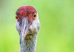 Big Bird (Wes Iversen) Tags: brighton kensingtonmetropark michigan milford sandhillcranes tamron150600mm birds cranes nature wildlife coth sunrays5 coth5