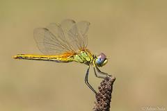 Libellula - Sympetrum striolatum - femmina - Cardinale striato  (The common darter dragonfly)..... (Silvio Sola) Tags: libellula dragonfly insetto macro closeup campo sympetrum striolatum cardinale striato