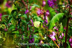 Brimstone - brimstone05-IMG_9967 (pete1074) Tags: fairburnings fairburn nature naturereserves rspb rspbfairburnings wildlife insects butterfly dragonfly macro peterjcarr petercarrphotography flickrpete1074 petecarr yorkshire westyorkshire