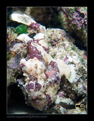 STEPantennarius-pictus3509_070314 (kactusficus) Tags: marine aquarium trade reef antennarius antennaridae pictus antennaire frogfish grenouille